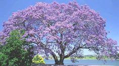 El Kiri: un árbol que podría salvar al mundo