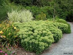 Sedum Autumn joy in summer before colour change - looks great combined with grasses