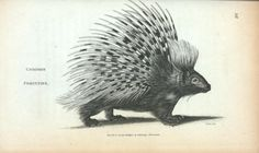 breadandhoney:Common porcupine from the zoological lectures delivered ...
