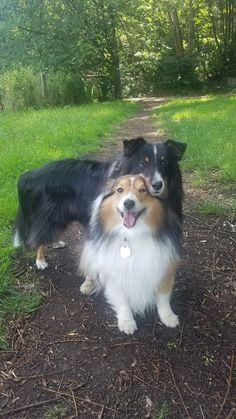 All Dogs, I Love Dogs, Puppy Love, Shetland Sheepdog, Sheltie, Mans Best Friend, Collie, Dog Breeds, Totes