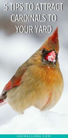 Invite charming red Cardinal birds to your yard or garden by following these 5 tips! Attract Cardinals to your yard and enjoy their colorful presence throughout the whole year. Learn how to attract Cardinals to your yard or garden. #birds #birdhouse #birdfeeder #wildbirds #outdoor #yard #garden #gardenideas #birdwatching #birdfeeding #birdwatchingtips