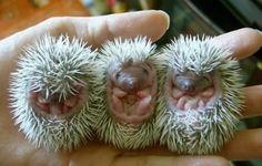 Baby hedgehogs!