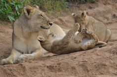 Mama lioness and pla