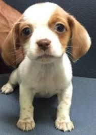 Image result for beagle king cavalier charles mix