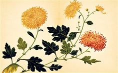 Chinese Chrysanthemum cultivar, from 'The Golden Age of Botanical Art'