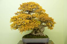 Hornbeam bonsai tree