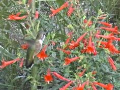 dawn #haiku: hummingbird hovers/ inches from the screen door/ wing-hum loud as my heart