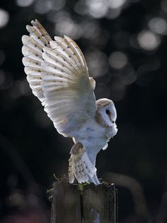 """Barn owl. See Over 2500 more animal pictures on my Facebook """"Animals Are Awesome"""" page. animals wildlife pictures nature fish birds photography"""