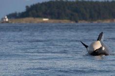 PHOTOS: Transient orcas seen frolicking off Saturna Island Orcas, Island, Animals, Image, Block Island, Animales, Animaux, Islands, Animal