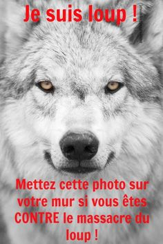 Gray and White Timber Wolf, What a Lovely Face. Wolf Spirit, My Spirit Animal, My Animal, Beautiful Creatures, Animals Beautiful, Tier Wolf, Animals And Pets, Cute Animals, Wolf Husky