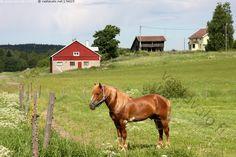 Hevonen - hevonen kotieläin kotieläimet talo navetta aitta pelto laidun maisema maalaismaisema maatila Kuopio Hiltulanlahti Country Life, Country Style, Finland, Horses, Drawings, Childhood, Animals, Future, Kids