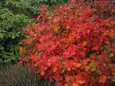 Fothergilla gardenii: All grow to an approximate height and width of 3 feet x 3 feet. While this is a sun to part-shade shrub, plants that grow in sun to dappled sun will supply the richest autumn color. Some years, fall coloration will appear red and sometimes it will look like a blend of red, purple, orange and yellow. garden-ideas