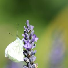 Captured moments: Finally, the beautiful butterflies here. Beautiful Butterflies, Butterfly, In This Moment, Flowers, Pictures, Animals, Photos, Animales, Animaux