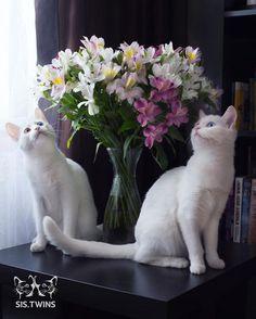 2匹おそろいのオッドアイ。双子の白猫、アイリスとアビスが幻想的で美しい                              …