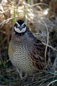This is the official page of Gentleman Bobwhite, dedicated to the outdoor lifestyle and the pleasures of pursuing the gentleman of game birds: the bobwhite quail. Quail Hunting, Hunting Dogs, Hunting Stuff, Raising Quail, Raising Goats, Kinds Of Birds, Game Birds, Backyard Birds, Bird Pictures