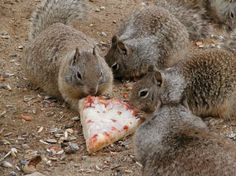 """Awww, finally, this is what every squirrel frat party needs, a pizza."""