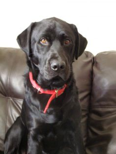 Meet Oakley, a Petfinder adoptable Labrador Retriever Dog | Warrington, PA | My name is Oakley and I am an almost 2 year old gorgeous black male labrador retriever.  I am a...