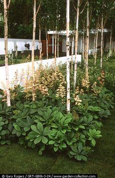 Betula utilis var.jaquemontii underplanted with Rodgersia pinnata frame the edge of a modernernist garden