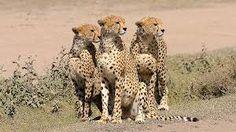 """Résultat de recherche d'images pour """"safari photos tanzanie"""""""