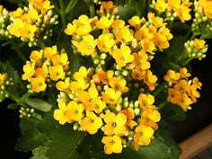 A yellow Flaming Katie (Kalanchoe blossfeldiana). Kalanchoe is a tropical, succulent plant in the family Crassulaceae. It mainly originates from southern & eastern Africa and Madagascar. [Sw: våreld, höstglöd]