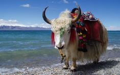 ThatBohemianGirl - My Bohemian Heart meditation-libre: Tibetan Yak Mongolia, Mount Everest, Musk Ox, White Cow, Buddha Buddhism, Image Of The Day, All Gods Creatures, Manx, Bison
