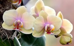 High Resolution Wallpapers = orchid backround by Truman Backer (2017-03-02)