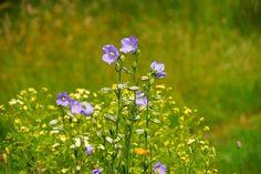 Jardim, Flor, Flores, Azul, Flora