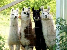 Mini llamas - think you can have one of these within city limits? :)