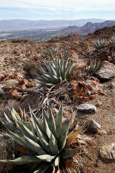 agave, Cahuilla Hills, CA
