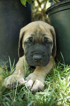 English Mastiff Puppy Mr. Tibbs.