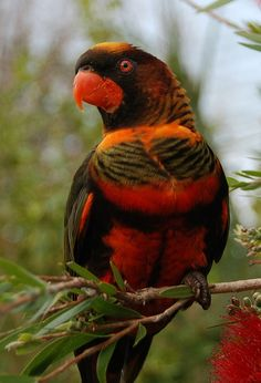 Lorius is a genus of lorikeet in the parrot family Psittaculidae. The genus contains six species that are distributed from the Moluccas in Indonesia through New Guinea to the Solomon Islands