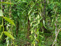 Madagascar Vanilla 085.jpg