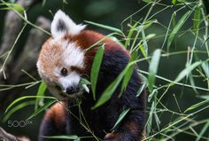 Eating breakfast before sleep - Red Panda - Red Panda eating breakfast at Bronx Zoo, Bronx, New York, Summer 2016.