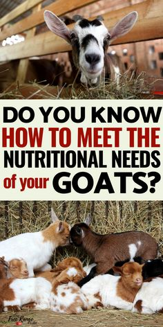 Raising Goats- What do goats eat? Do you what to feed your goats so they stay at optimum health? Raising Farm Animals, Raising Goats, Raising Rabbits, Cabras Boer, Keeping Goats, Goat Barn, Nigerian Dwarf Goats, Mini Farm, Goat Farming