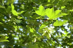 Bergahorn • Acer pseudoplatanus • Pflanzen & Blumen • 99Roots.com