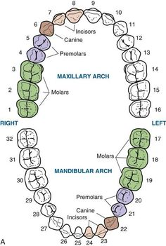 Dentaltown - Occlusal views of the permanent dentition during the permanent period, with types of teeth identified. Dental Assistant Study, Dental Hygiene School, Dental Hygienist, Dental Health, Dental Care, Dental Charting, Dental Terminology, Dental World, Dental Anatomy