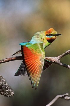 One of the most colorful and gorgeous birds in the world -- Rainbow Bee Eater