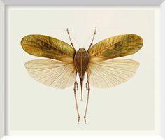 Brigid Edwards - Siliquofera grandis (Grasshopper) 2003, watercolour on vellum 45.7 x 50.8 cm