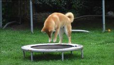 """Ayant un chien dis """"à forte machoire"""" j'ai vite dû trouvé une alternative au jouet pour chien un peu faiblard! Parce que oui quand un chien a 160kg par cm² de force masticatoire, il peut pas jouet avec le pouetpouet! Mais ça c'était avant! Alors oui j'ai..."""