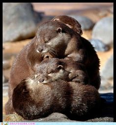 There's not much cuter than a pile of otters. :)