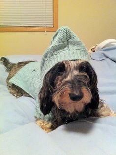 90cba379f1734 Miniature wire haired dachshund from Finland. In the Ralph Lauren hoodie