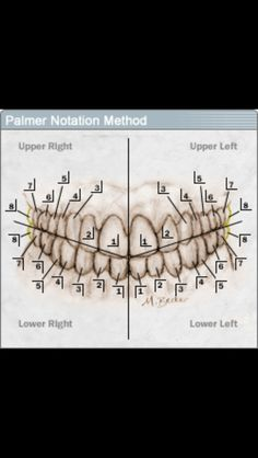 Upper And Lower Mandible Showing the Division of the *Quadrants! Dental World, Dental Life, Dental Art, Dental Teeth, Dental Nurse Training, Dental Terminology, Dental Assistant Study, Dental Anatomy, Tooth Chart