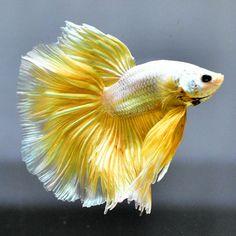 Male-Betta-Fish-034-High-Royal-Metallic-Light-Gold-HM-034-Super-Premium-AAA-Grade Betta Fish, Metallic, Dragon, Pets, Gold, Animals, Beautiful, Animales, Animaux