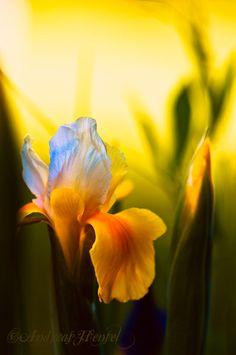 Inspirational Iris