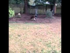 Sweet Dubs is feeling much better after his broken leg and is ready for adoption. Check him out playing in his foster family's back yard!