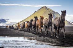 Wild horses, Iceland 2016 National Geographic Nature Photographer of the Year National Geographic Animals, National Geographic Photos, Amazing Photography, Nature Photography, Icelandic Horse, Wild Horses, Four Legged, Beautiful Horses, Photo Contest