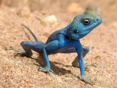 Daily Shot (01/13/2013)  Male Agama sinaita (seen here, in Jordan), during mating season, turn blue to attract females :)