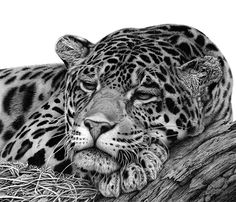 Hyper Realistic Animal Drawing Jaguar