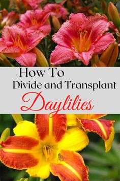 Daylilies are a wonderful addition to any garden. Here is a simple Illustarted guide on How to Propagate Daylilies by division. Daylily Garden, Garden Inspiration, Garden Ideas, Free Plants, Down South, Propagation, Colorful Flowers, Gardening Tips, Garden Design