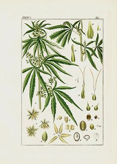 Cannabis Sativa Print, Marijuana engraving with text Pharmaceutical Waarenkunde by Eduard Winkler 1852